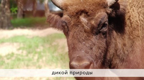 Корм для зубров в зимний период | Сбербанк Вместе  - «Видео - Сбербанк»
