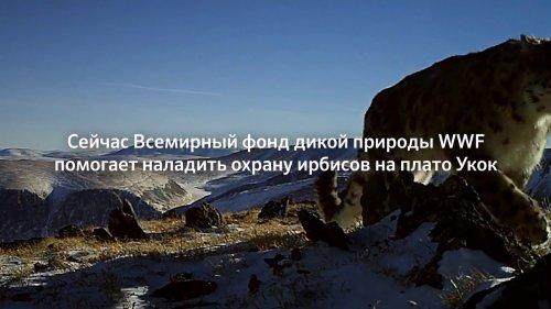 Сохраним снежных барсов  - «Видео - Сбербанк»